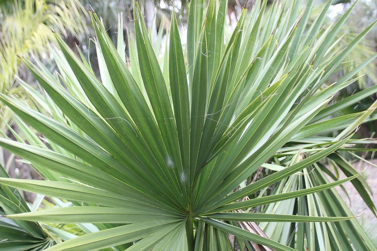 Las hojas del Sabal minor tienen forma de abanico