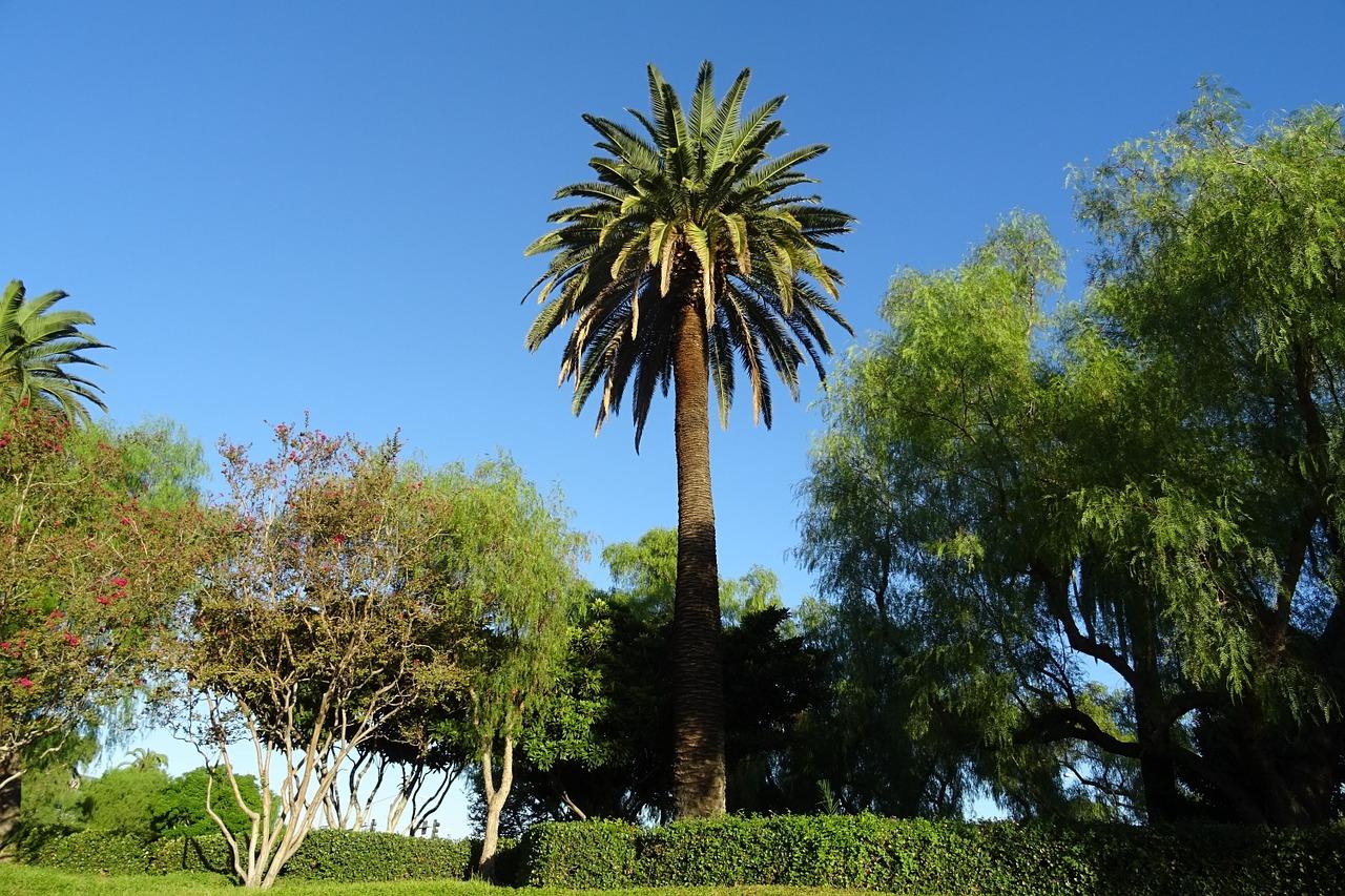 La palmera canaria es típica de España