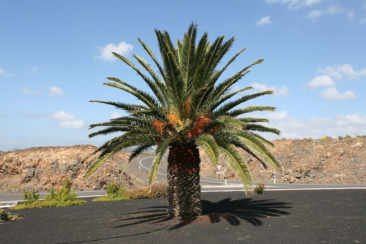 La palmera canaria es endémica de las islas Canarias