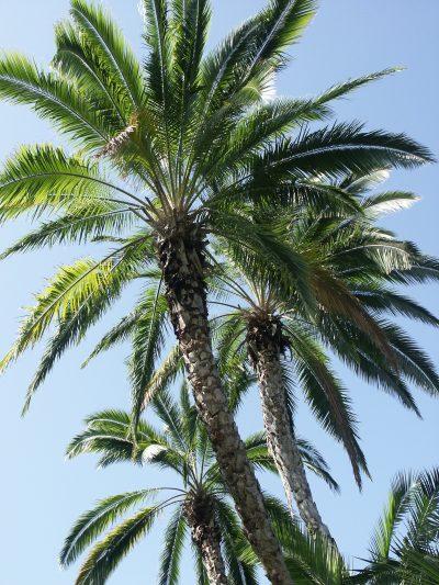 La palmera de Senegal es una planta de rápido crecimiento