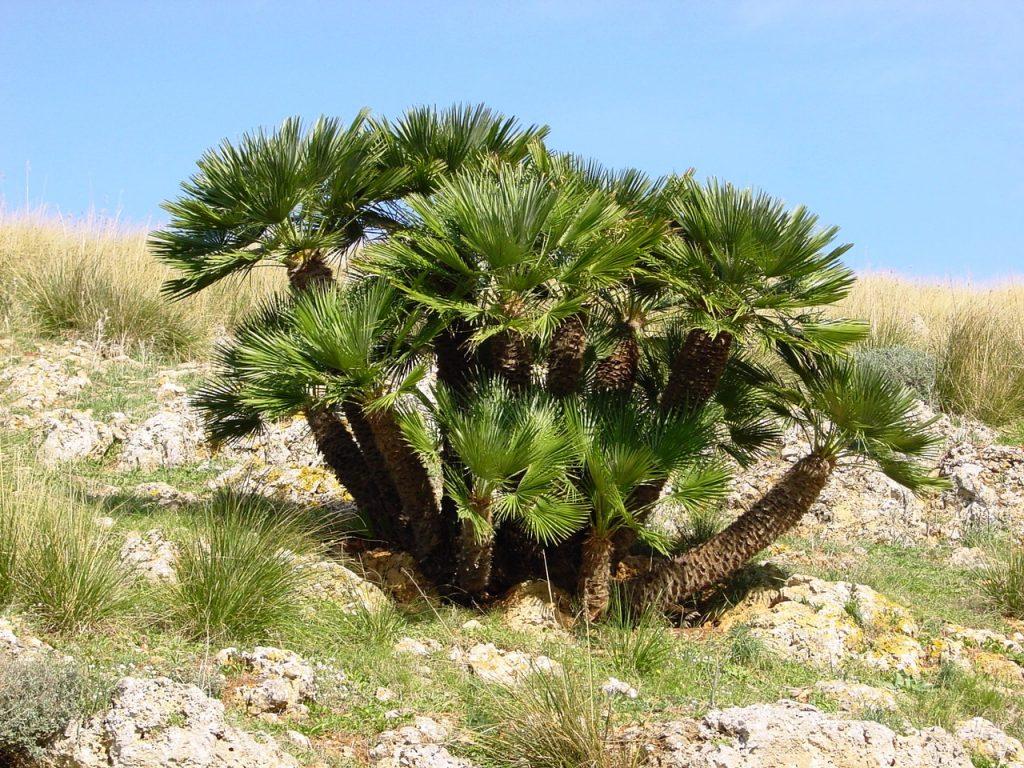 El palmito es una palmera autóctona de la península y Baleares