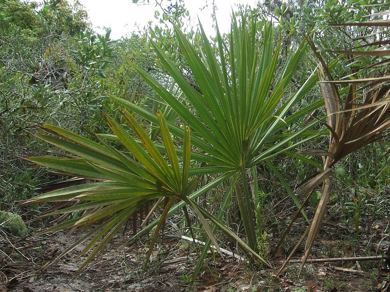El Sabal etonia es una palmera nativa de Florida
