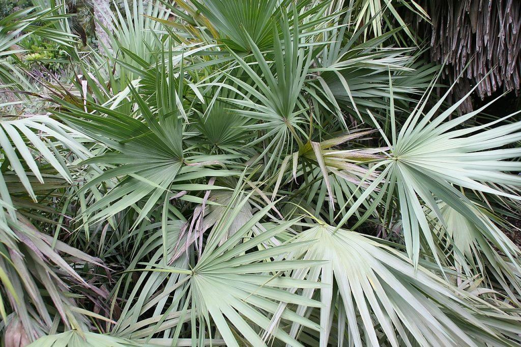 La Serenoa repens es una palmera multicaule