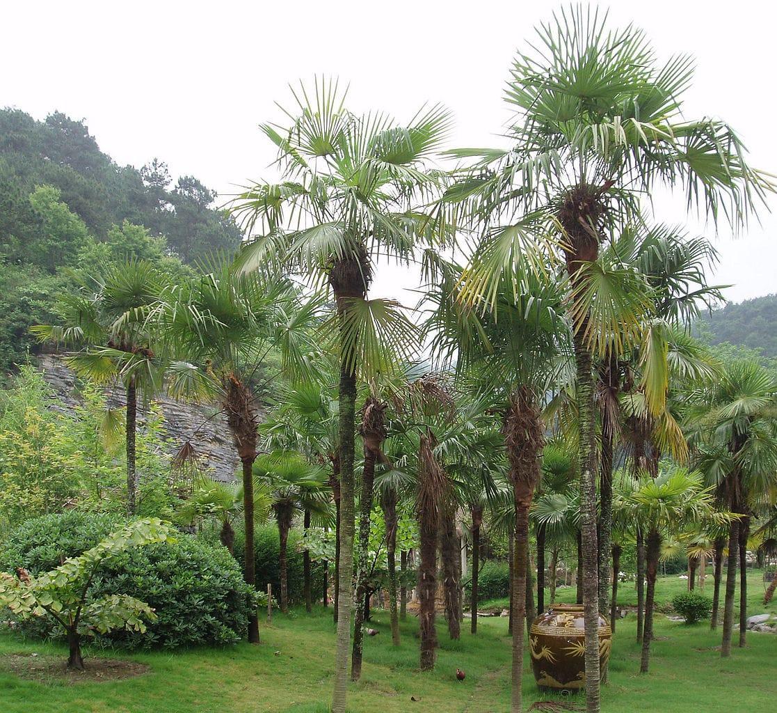 El Trachycarpus fortunei es una palmera muy resistente al frío