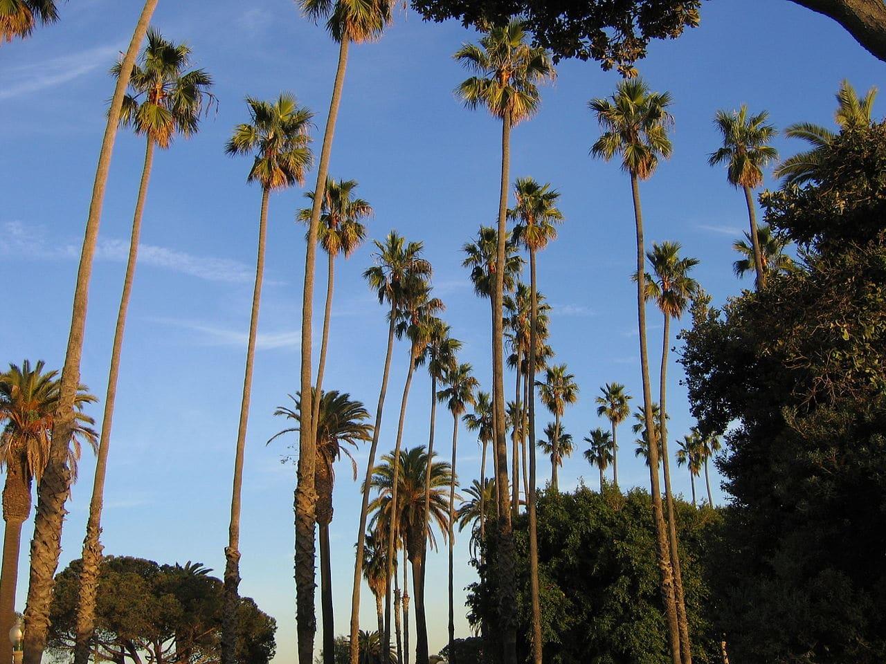 La Washingtonia robusta es una palmera que crece rápido y resiste la sequía