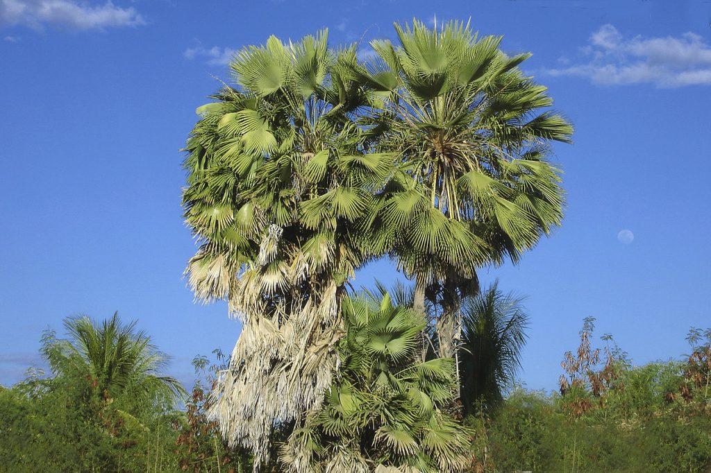 Las carnaubas son palmeras con hojas palmadas