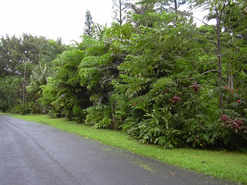 La Caryota mitis es una palmera de varios troncos