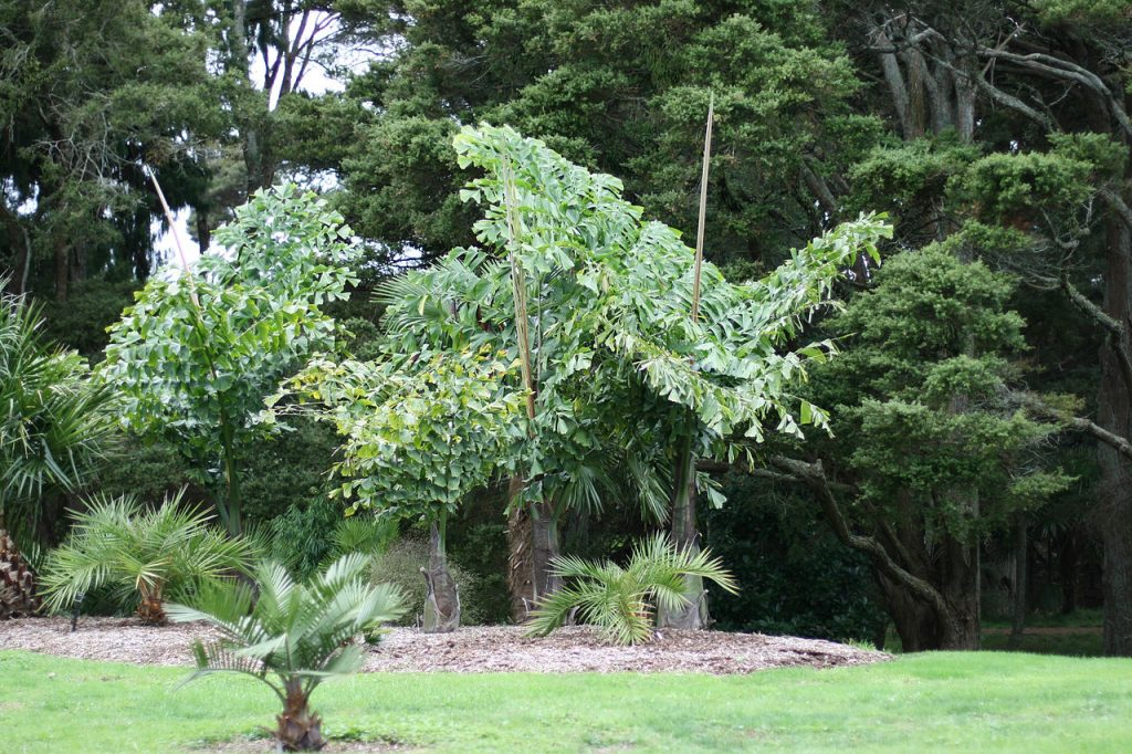 La Caryota obtusa es una palmera con hojas bipinnadas