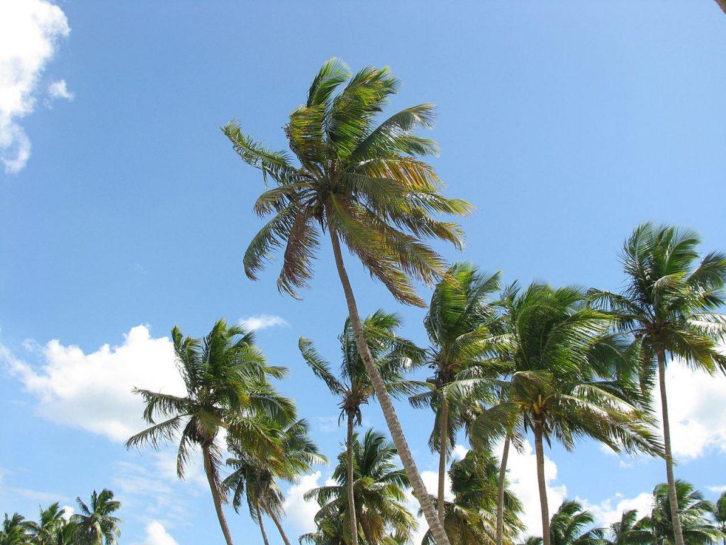 El cocotero es una palmera unicaule