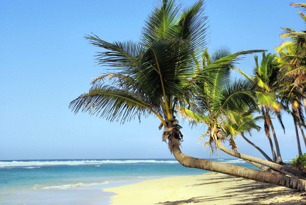 Los cocoteros son un tipo de palmera de un solo tronco