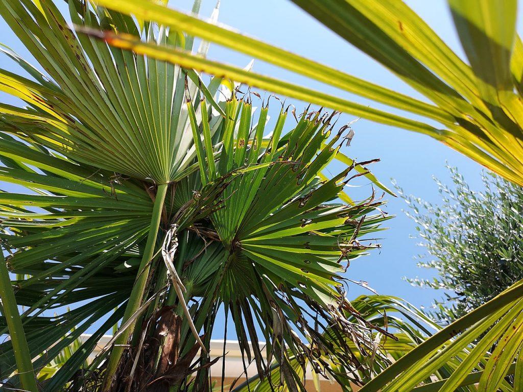 La Paysandisia causa muchos daños a las palmeras