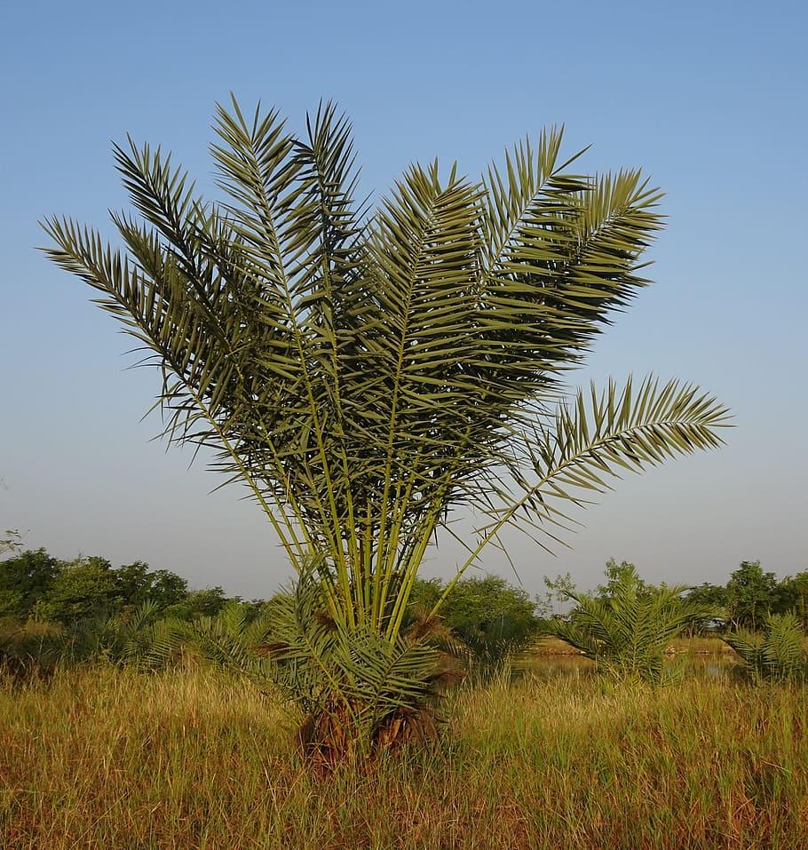 La datilera es una palmera multicaule
