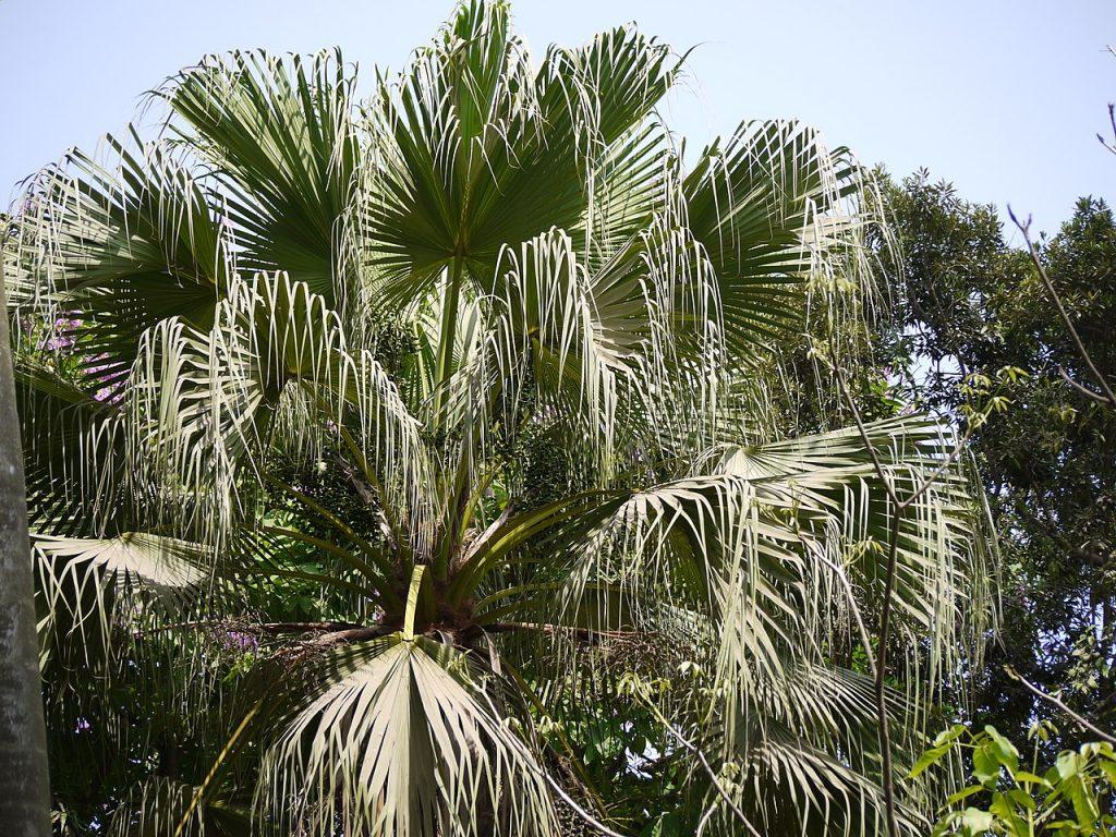 La Livistona chinensis es una palmera unicaule con hojas costapalmadas