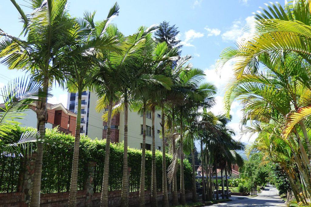 La palmera alejandra es una planta de un solo tronco con hojas pinnadas