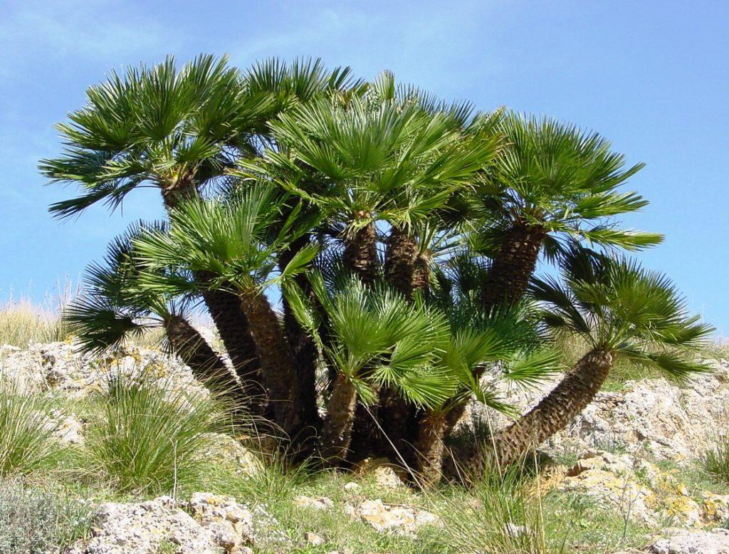 El palmito es una palmera de varios troncos