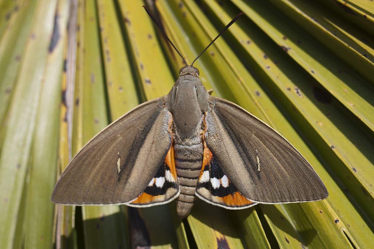 La Paysandisia archon es una de las plagas de palmeras más importantes