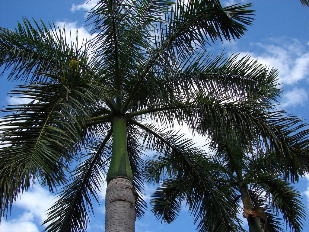 La Roystonea regia es un tipo de palmera unicaule