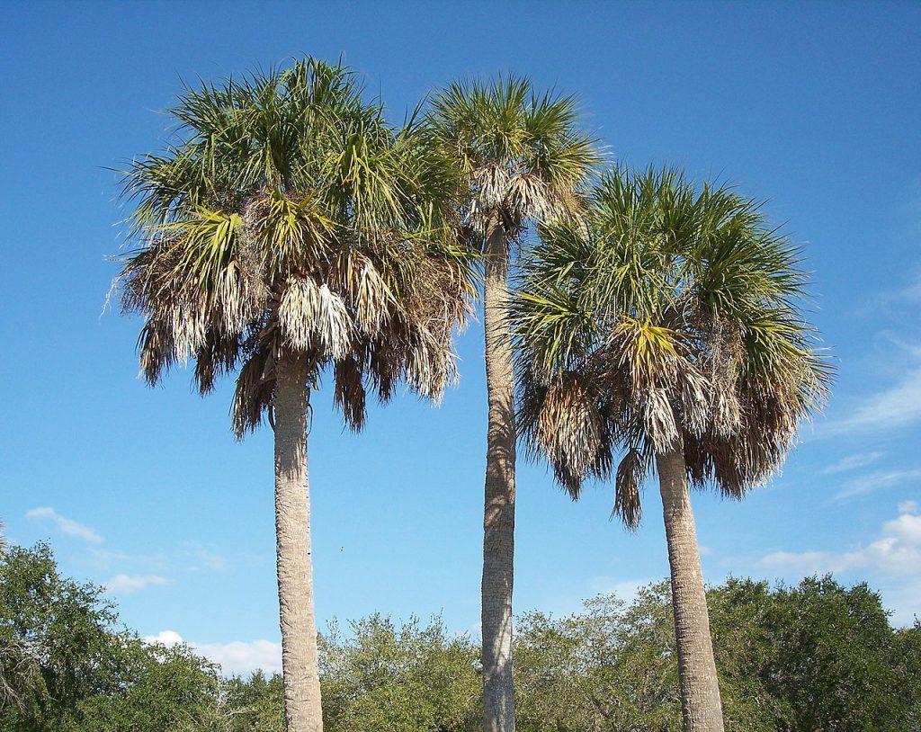El Sabal palmetto es una palmera con hojas costapalmadas