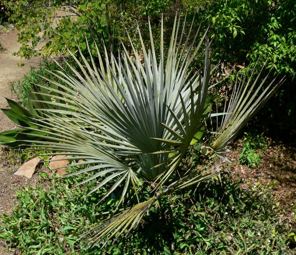 La Brahea decumbens es una palmera pequeña