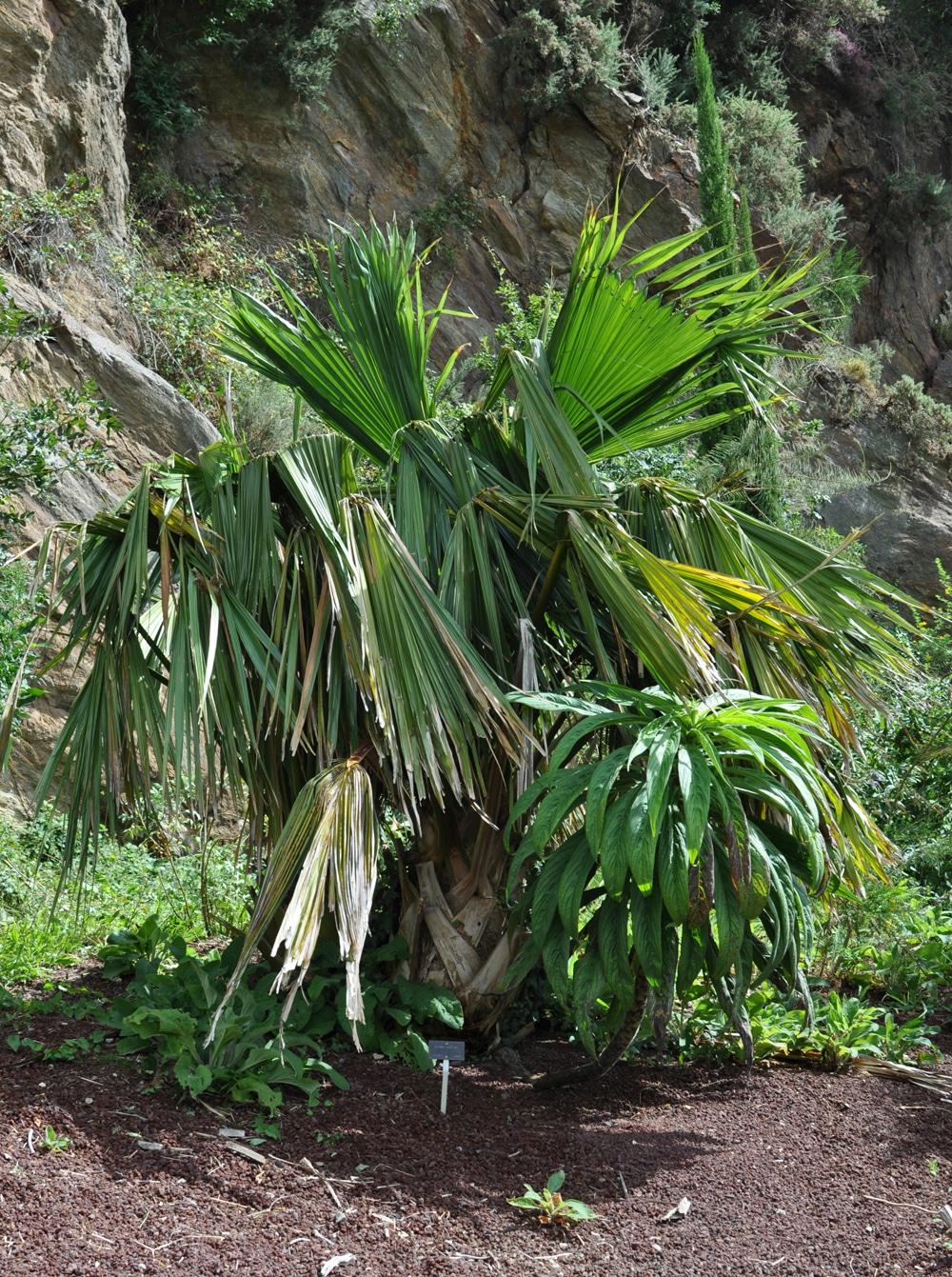 La Brahea edulis es una palmera de lento crecimiento