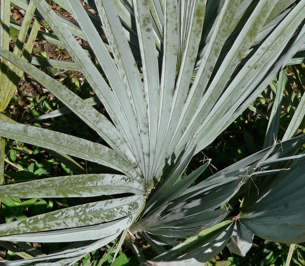 Las Brahea tienen hojas verdes o azuladas