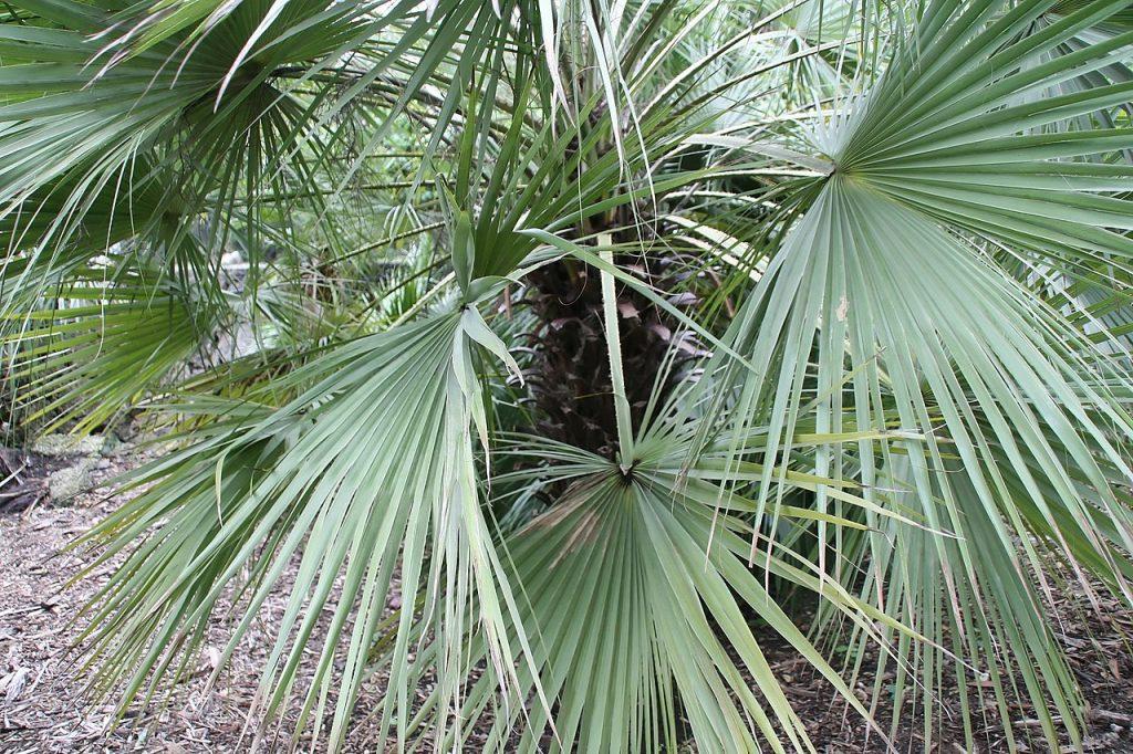 La Brahea aculeata es una palmera con hojas en forma de abanico