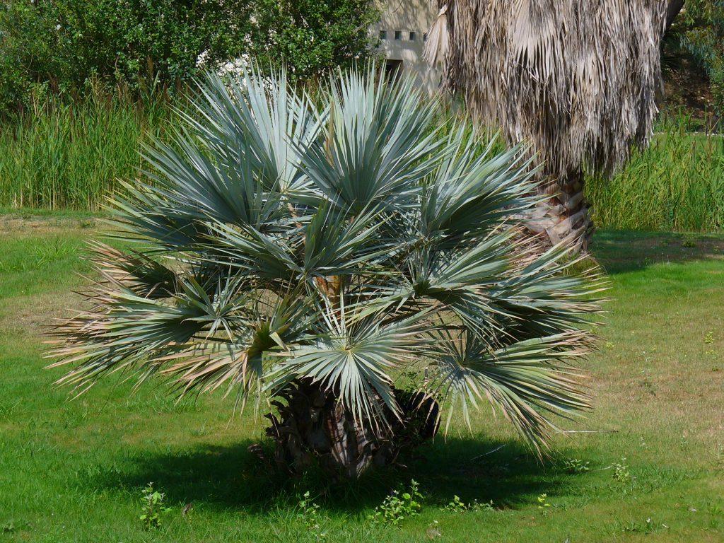 La Brahea armata es una palmera con hojas azules