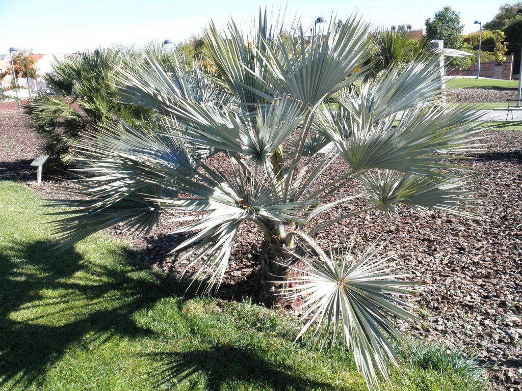 Las Brahea armata son palmeras azuladas