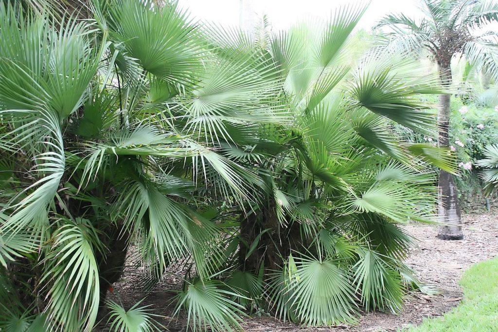 La Brahea dulcis es una palmera preciosa