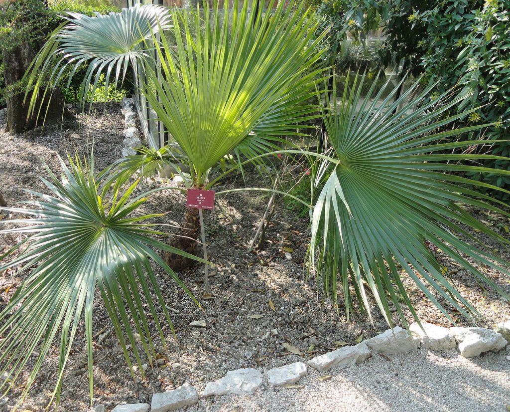 La Brahea nitida es una palmera