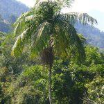 La Euterpe edulis es una palmera tropical