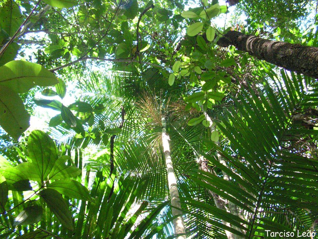 Las Euterpe viven en selvas tropicales