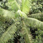 La Euterpe precatoria es una palmera nativa del Amazonas