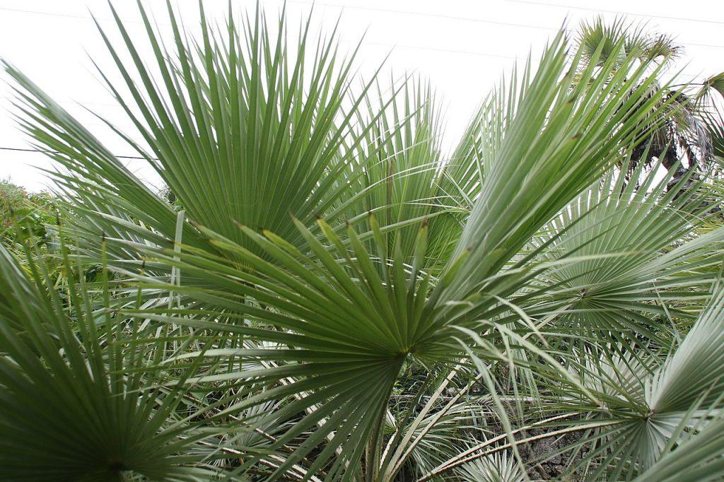Las hojas de las Brahea son grandes