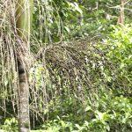 El tronco de la Euterpe precatoria