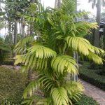 La Areca triandra es una palmera multicaule