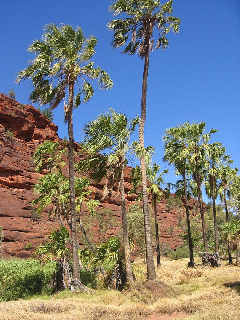 La Livistona mariae es una palmera de tronco esbelto
