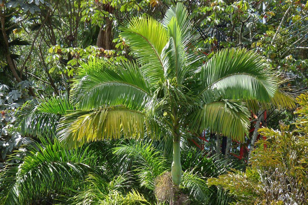 Las Archontophoenix son palmeras de tronco delgado