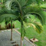 La Archontophoenix alexandrae es una planta ideal para jardines