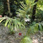 La Archontophoenix purpurea es una palmera muy bonita