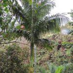 Archontophoenix tuckeri en hábitat