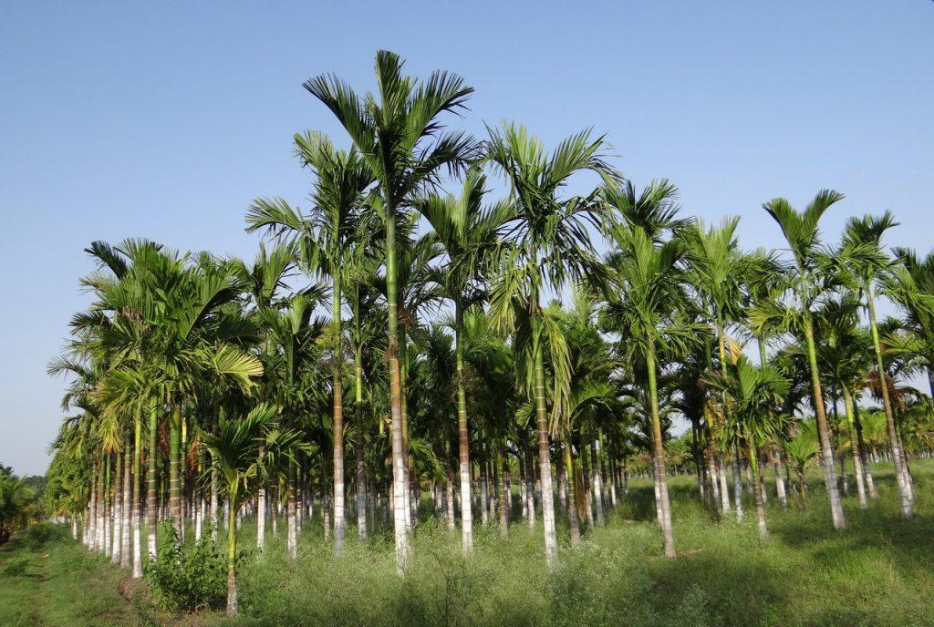 La Areca catechu es una palmera de rápido crecimiento