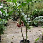 La Areca guppyana es una palmera pequeña