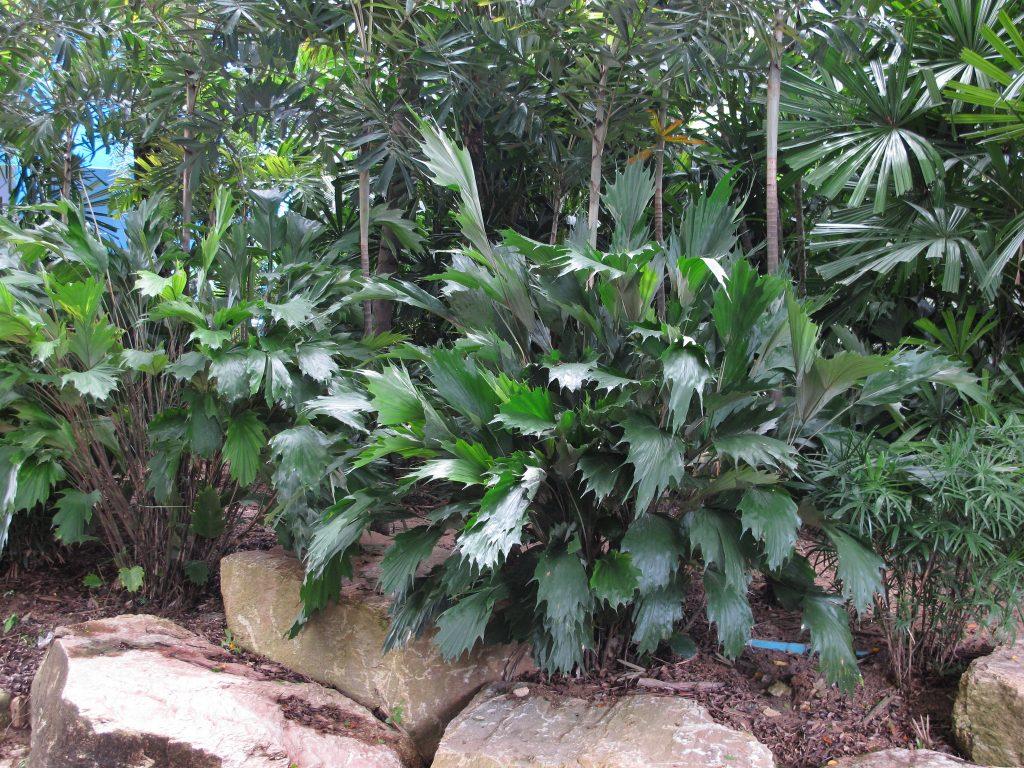 La Arenga caudata es una palmera pequeña