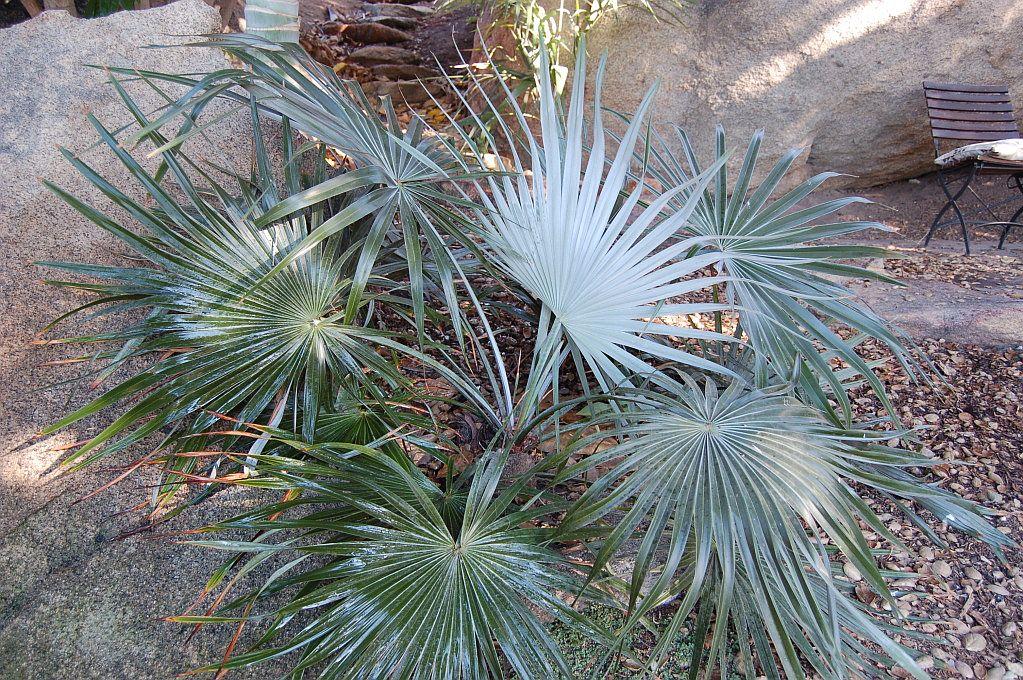 La Brahea moorei es una palmera con hojas en forma de abanico
