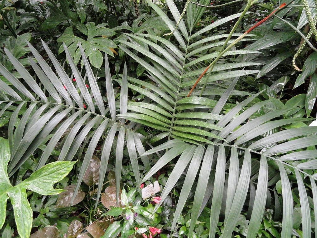 La Chamaedorea pinnatifrons es una palmera unicaule