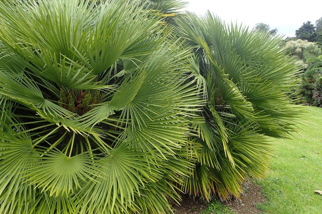 El Chamaerops humilis es una palmera pequeña