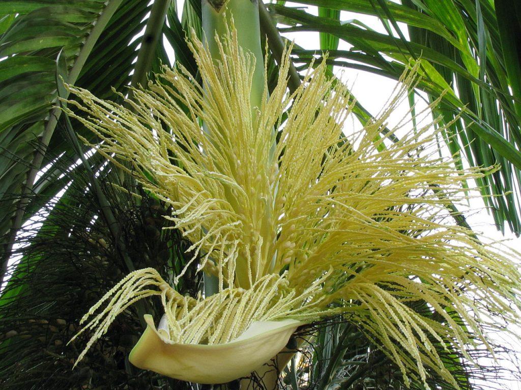 Las flores de las palmeras Areca son de color crema