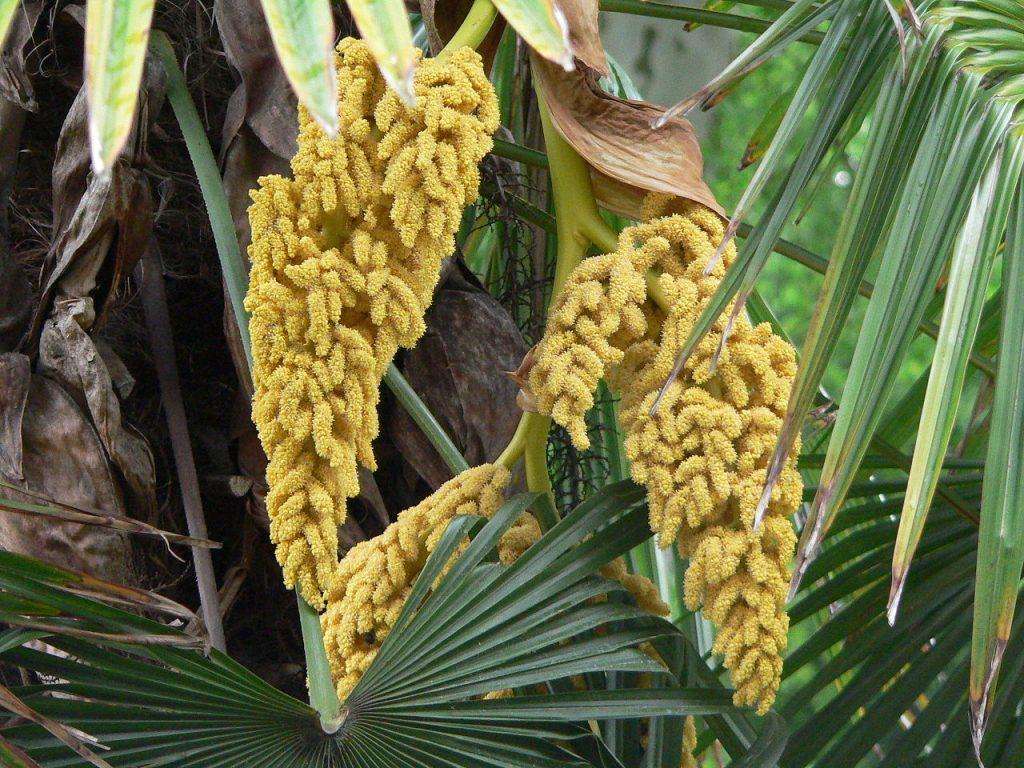 Las Livistona son palmeras de lento crecimiento