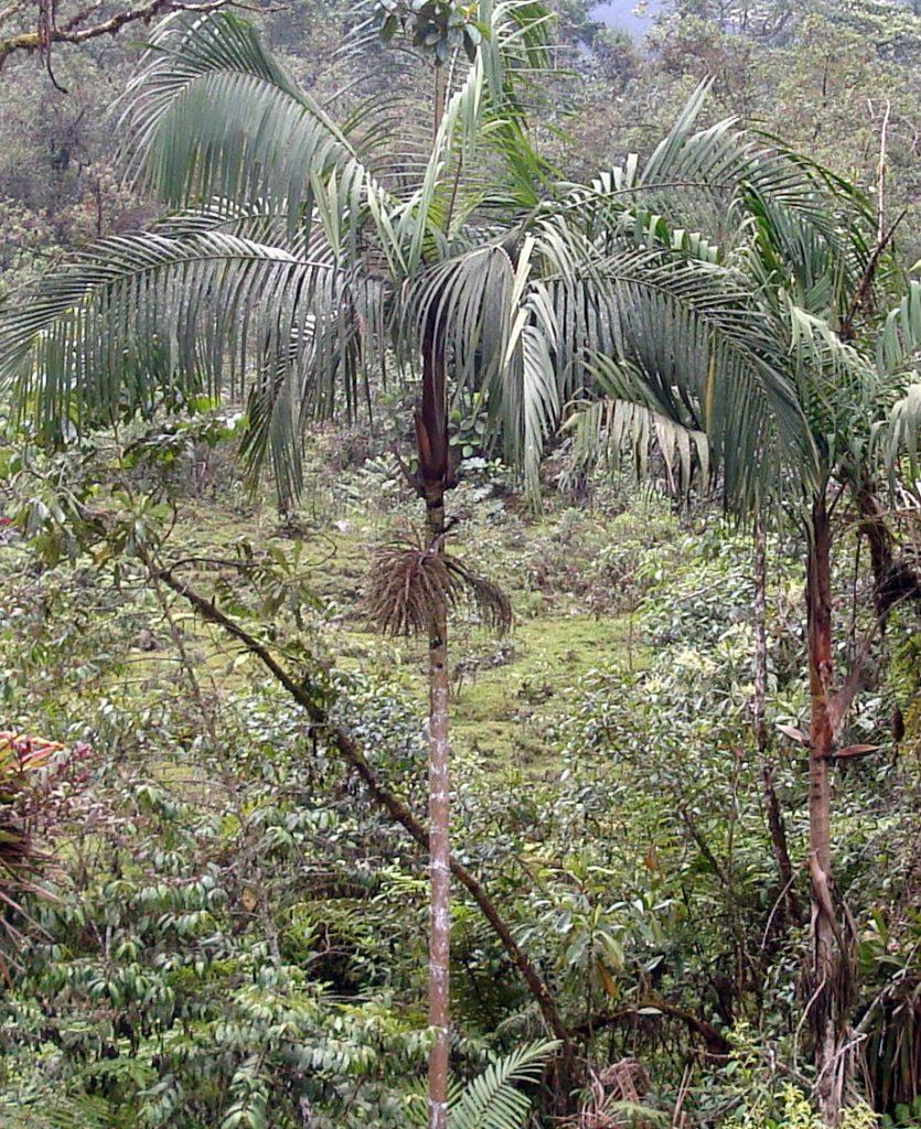 El Geonoma deversa es una palmera tropical